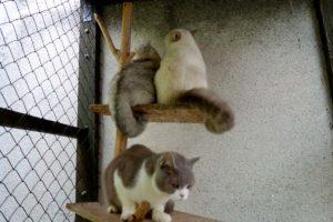 Britské kočky v hotelu pro kočky Miacis Praha Smečno web