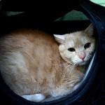 Evropská kočička Kuba v hotelu pro kočky