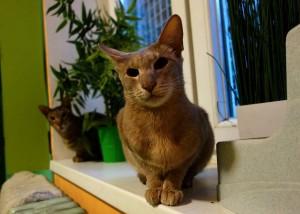 Gucci a Emil v hotelu pro kočky Miacis Praha Smečno