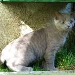 Jeremiáš britská krátkosrstá kočka vhotel pro kočky Miacis