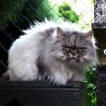 Kasim perská kočka v hotelu pro kočky Miacis