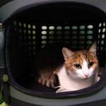 Lussy -evropská kočička v hotelu pro kočky Miacis