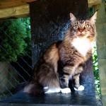 Mainská mývalí kočička Arwen-hotel pro kočky Miacis