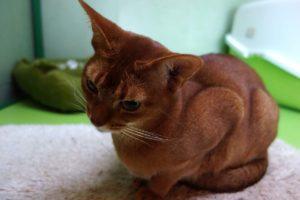Mimóza v hotelu pro kočky Praha Smečno Kladno Miacis