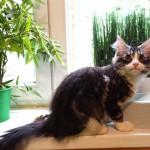Minská mývalí kočka - kotě Max hotel pro kočky Miacis