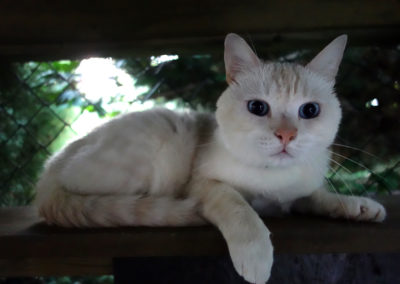 Modrooký elegán Ťulda v hotelu pro kočky Miacis Praha,Kladno Ůstí