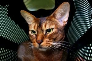 Nádherná šelma Hadar v hotelu pro kočky Miacis Praha Smečno