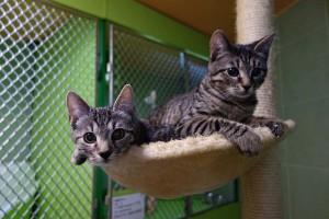 Penny a Leonardo v hotelu pro kočky Miacis Praha Slaný