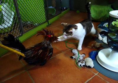 Havlík v hotelu pro kočky Praha bojuje s kohoutem z Filipín 1